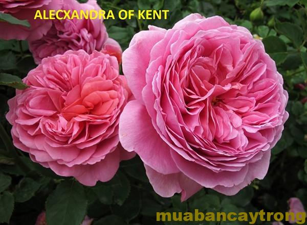 Hoa hồng Princess Alexandra of Kent Tree Rose